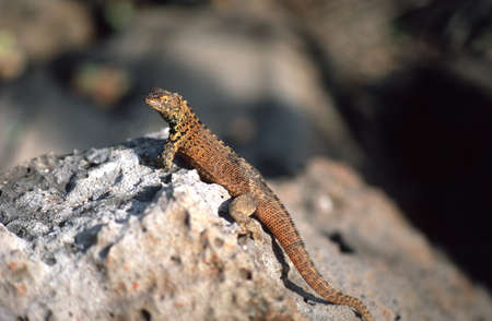 Brown Galapagos lizard perched on a rock photo