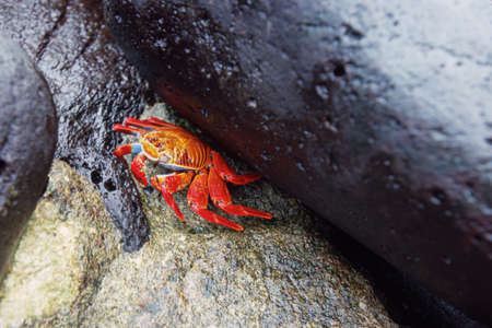 Orange sally lightfoot crab (Grapsus grapsus), Ecuador photo