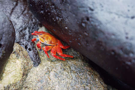 Orange Sally Lightfoot Crab (Grapsus grapsus), Galapagos Islands photo