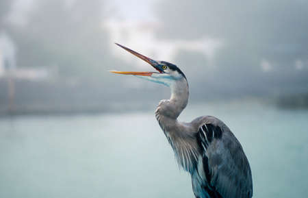 Great blue heron (Ardea herodias) with its beak open photo