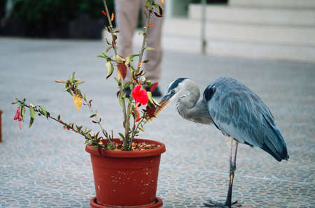Great blue heron (Ardea herodias cognata) examining orange flowerpot photo