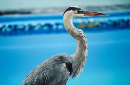 herodias: Great blue heron (Ardea herodias) by edge of pool