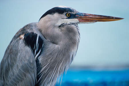 Great blue heron (Ardea herodias) by edge of pool photo