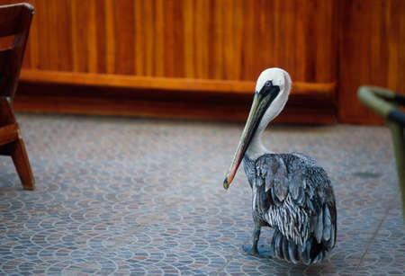 civilized: Galapagos brown pelican (Pelecanus occidentalis urinator) between chairs Stock Photo