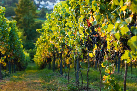 german food: Red grapes on the vine in a sunny vineyard