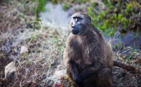 Baboon on the roadside, Cape Point, South Africa photo
