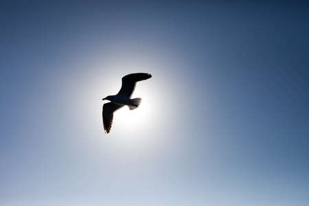 Seagull silhouetted against the sun and blue sky photo