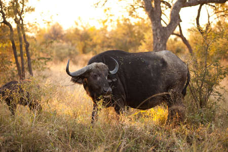 An African Buffalo (Syncerus caffer) near Kruger National Park photo