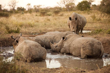 Rhinos laying in the mud, Kruger National Park photo