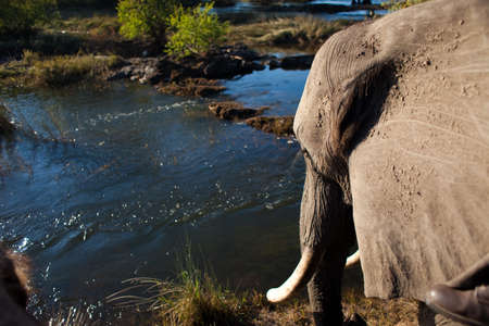 chobe national park: African bush elephant (Loxodonta africana) gazing at river Stock Photo