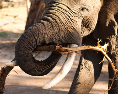 African bush elephant (Loxodonta africana) munching on branch Stock Photo - 16125425