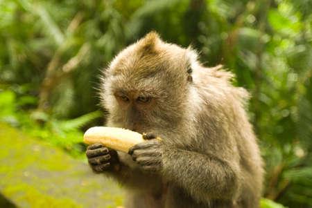 Balinese monkey with banana, Ubud Monkey Forest, Bali Stock Photo - 16123388