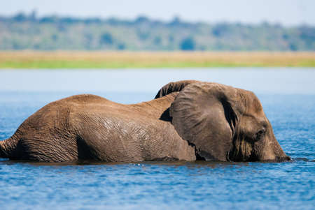African bush elephant (Loxodonta africana) swimming in river photo