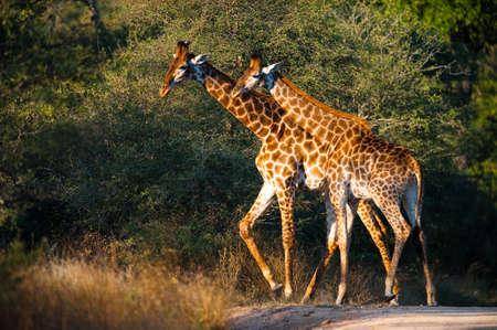giraffa camelopardalis: Two giraffes (Giraffa camelopardalis) walking, South Africa
