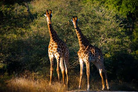 giraffa: Two giraffes (Giraffa camelopardalis) walking, South Africa
