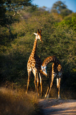 Two giraffes (Giraffa camelopardalis) walking, South Africa photo