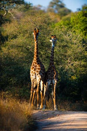 Two giraffes (Giraffa camelopardalis) near Kruger National Park photo