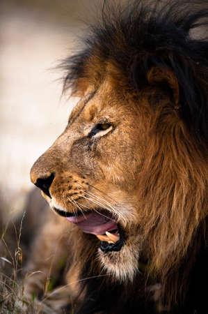 Yawning lion near Kruger National Park Stock Photo