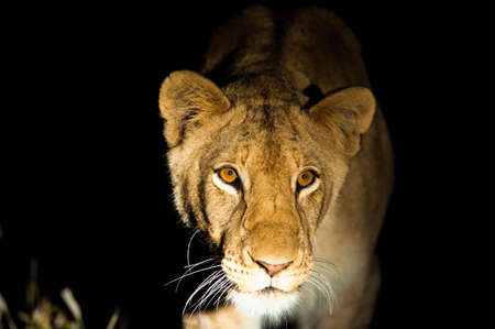 Lions (Leo panthera) at night, Kruger National Park photo