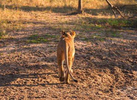 big ass: Lion walking away, near Kruger National Park