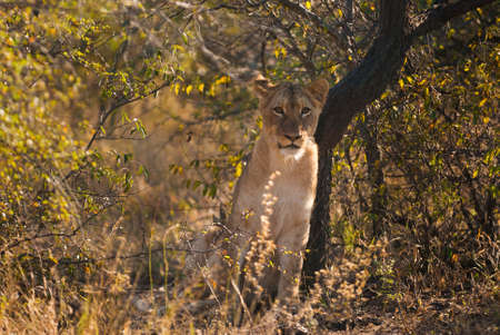 Jeune lion se cacher dans la brousse, Parc national Kruger photo