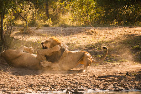 Older lion biting younger lions leg in a fight photo
