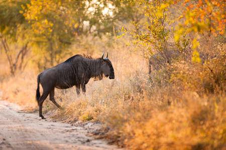 taurinus: A blue wildebeest (Connochaetes taurinus) crossing a road