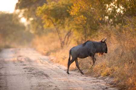 A blue wildebeest (Connochaetes taurinus) crossing a road photo