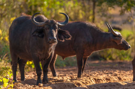 Group of Cape buffalo (Syncerus caffer), Kruger National Park