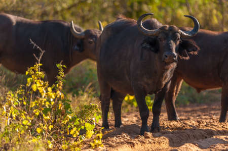 Group of Cape buffalo (Syncerus caffer), Kruger National Park photo