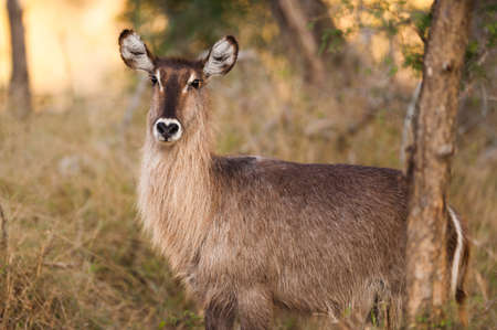 Ellipsen waterbuck (Kobus ellipsiprymnus) near Kruger National Park photo