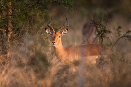 springbuck: Impala (Aepyceros melampus) near Kruger National Park