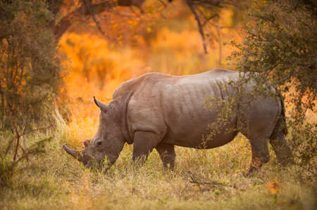 Rhinoceros in late afternoon, Kruger National Park Stock Photo