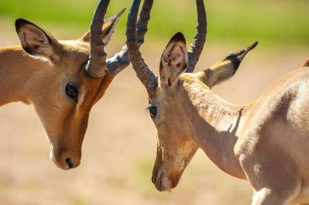 impala: Impala butting heads in Chobe National Park