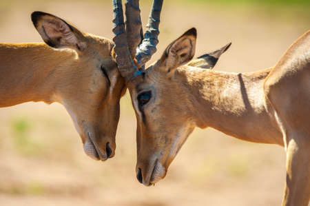 kruger: Impala butting heads in Chobe National Park