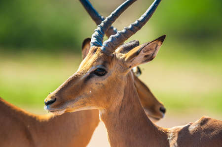 Impala (Aepyceros melampus) in Chobe National Park, Botswana photo