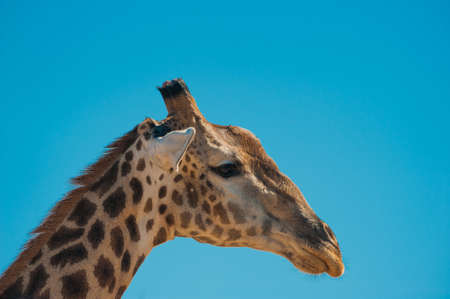 Giraffe (Giraffa camelopardalis) and blue sky, Chobe National Park photo