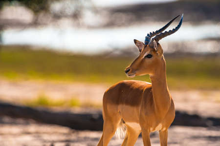 chobe national park: Impala (Aepyceros melampus) in Chobe National Park, Botswana