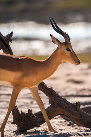 chobe national park: Impala (Aepyceros melampus) walking, Chobe National Park, Botswana Stock Photo