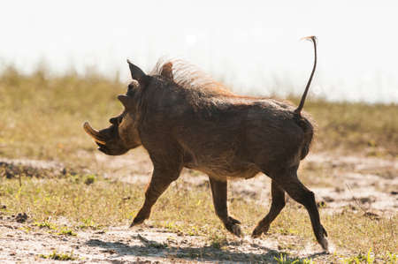Running warthog (Phacochoerus africanus) up close in Botswana photo