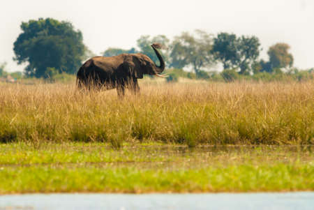 cool off: Elephant throwing dirt to cool off, Chobe National Park Stock Photo