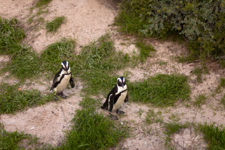 Two African penguins (Spheniscus demersus) walking a path photo