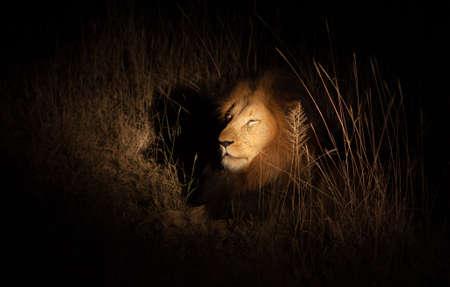Lion in bush at night photo
