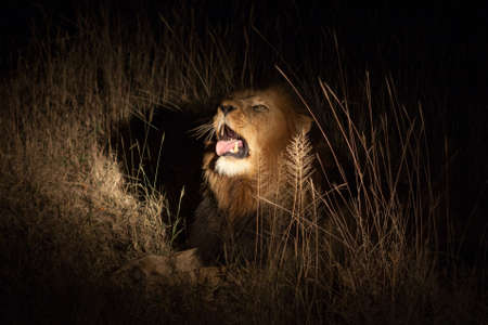 female lion: Lion in bush at night
