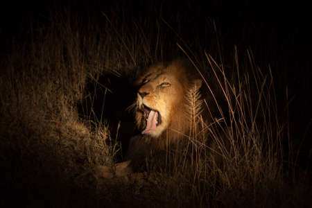 gagging: Lion yawning at night  Stock Photo