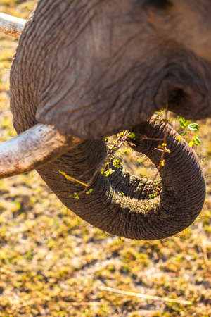 African bush elephant grazing on tree branches Stock Photo - 16328204