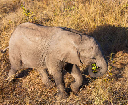 High angle view of baby African elephant(Loxodonta africana) Stock Photo - 16328414