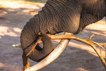 African bush elephant (Loxodonta africana) munching on branch Stock Photo - 16328431