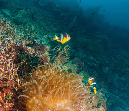 branching: Branching anemone (Lebrunia danae) and Allards clownfish (Amphiprion allardi)