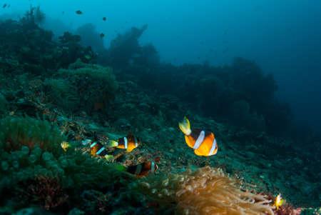 branching coral: Branching anemone (Lebrunia danae) and Allards clownfish (Amphiprion allardi)